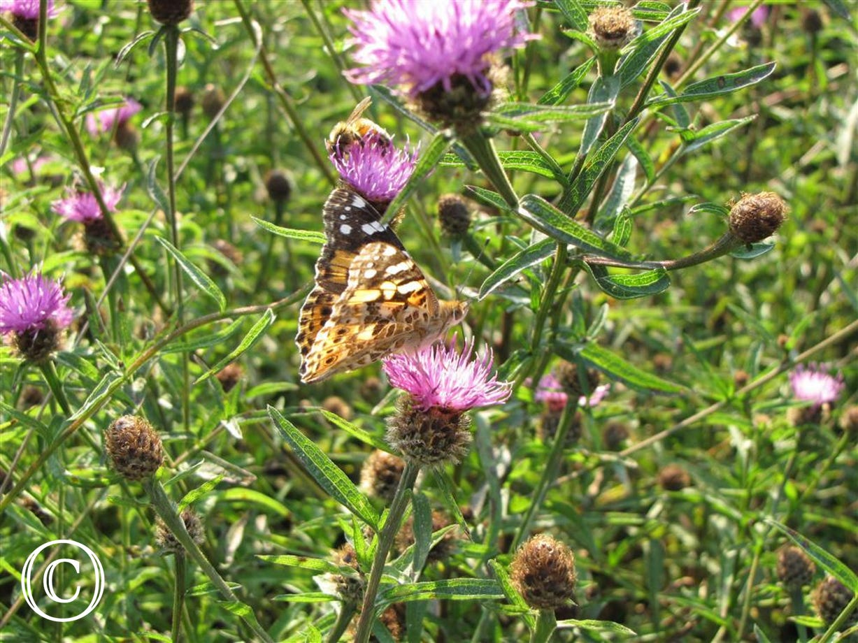 Butterfly in napweed