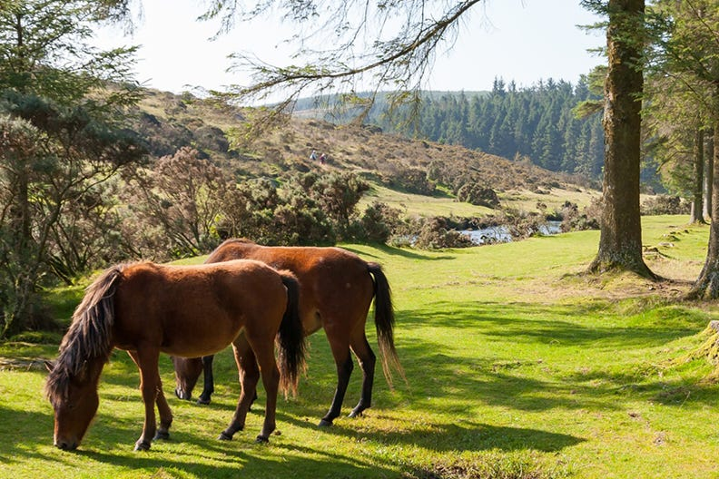 Wild ponies at Dartmoor