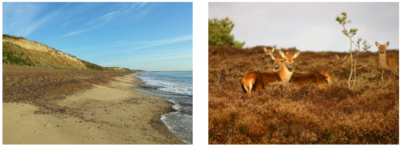 Dunwich Cliffs|Red Deer at Dunwich Heath