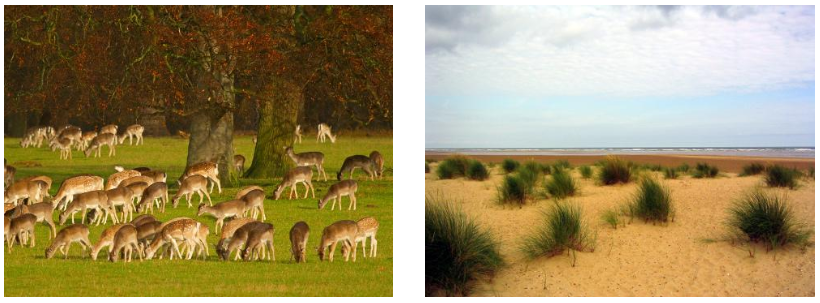 Fallow Deer on the Holkham Estate  Holkham Beach in North Norfolk