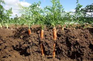 Large carrots growing in the soil