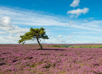 Walk amongst the purple heather of the Yorkshire Moors